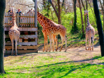Bronx Zoo i New York - Giraffer