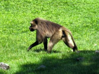 Bronx Zoo i New York - Ape