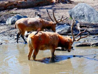 Bronx Zoo i New York - dyr som drikker