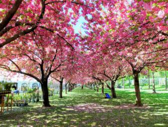 Botaniske hager i New York New York - Kirsebærblomster